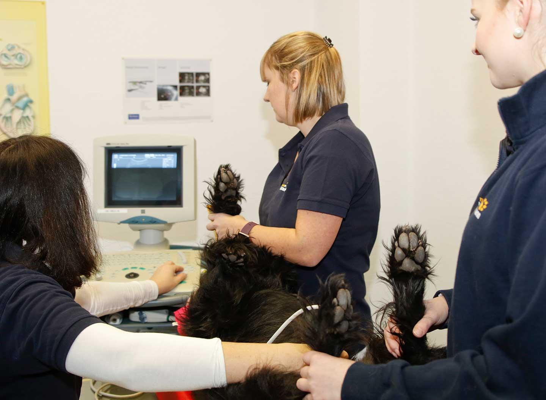 Ein Hund bei einer Ultraschalluntersuchung
